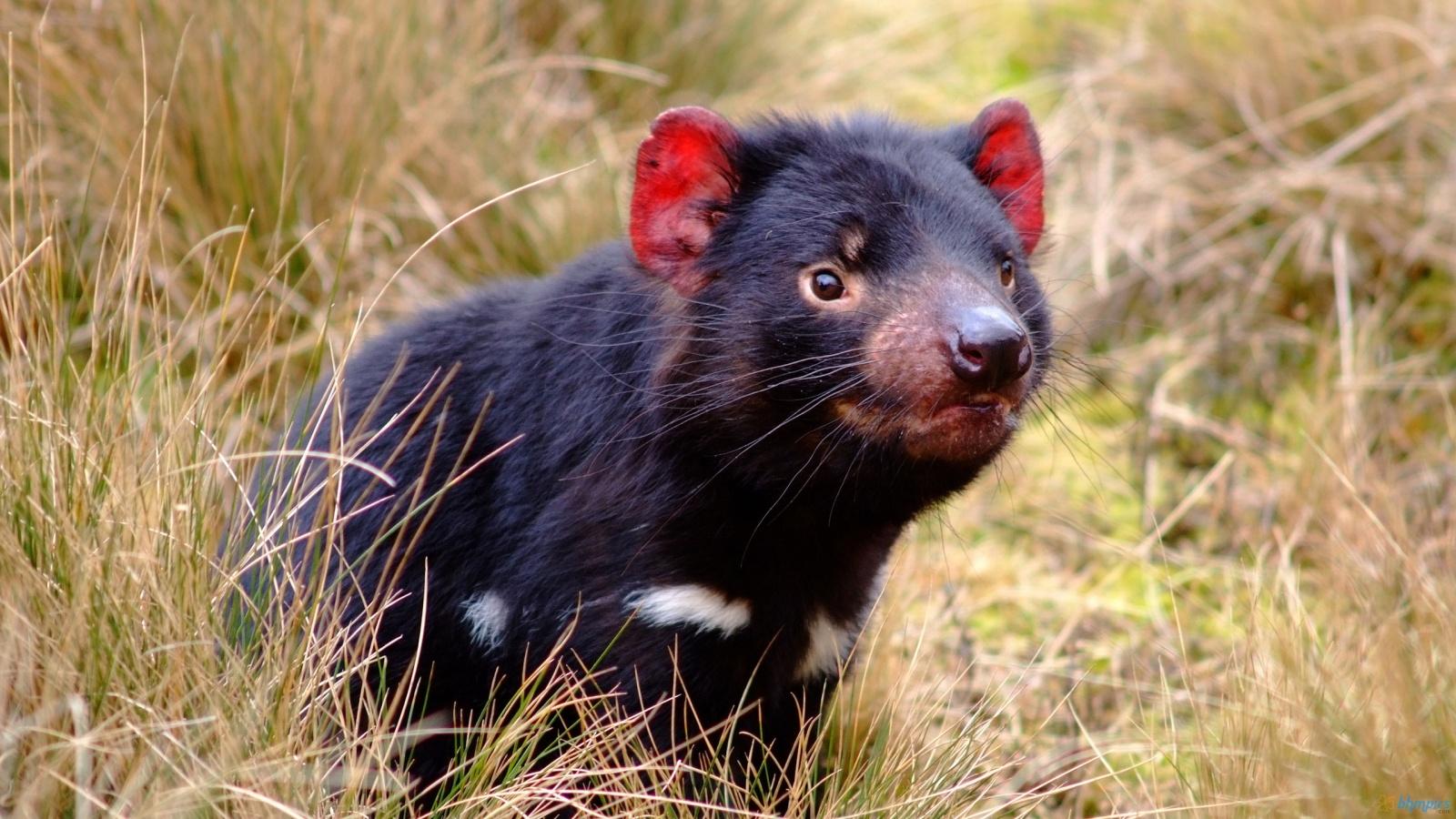 Link a Tasmanian-Devil
